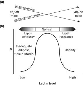 metabolismo-leptino-resistenza-291x300