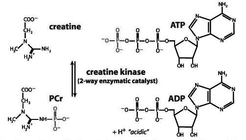 struttura-effetti-creatina-monoidrato